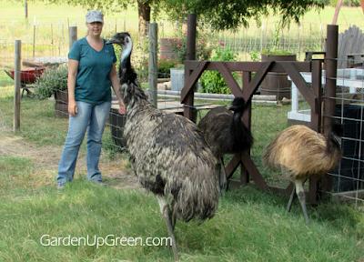 Feeding Emus, shared by Garden Up Green