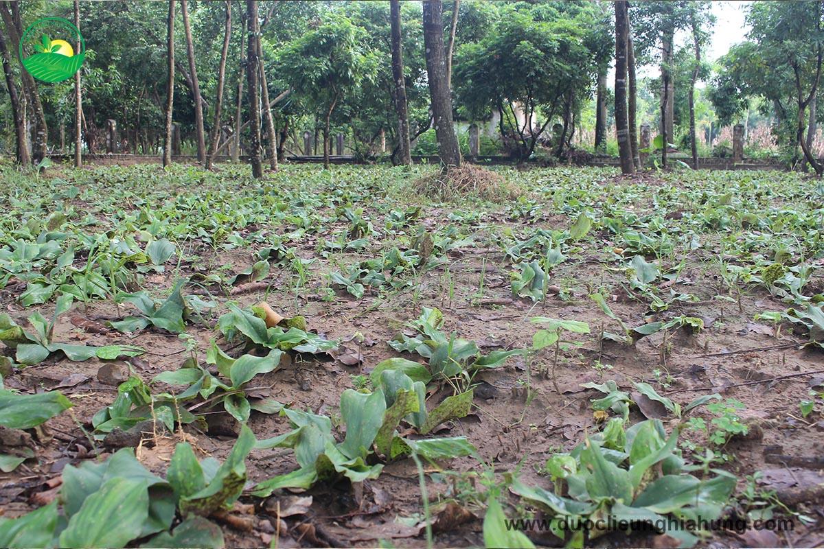 Dược liệu địa liền trồng xen canh với các cây lâu năm