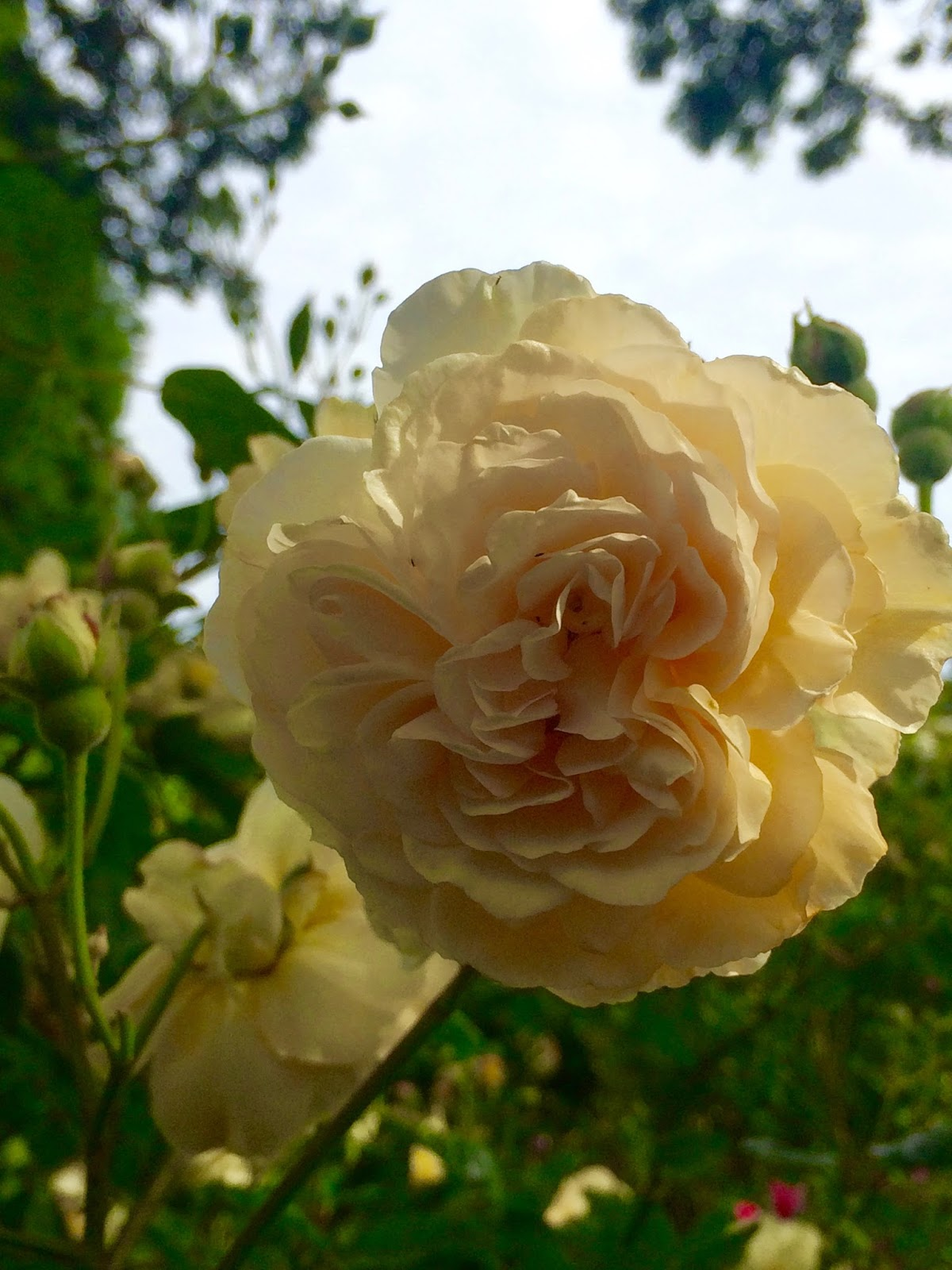 hostess of the humble bungalow: Strolling in a Victoria Rose Garden...