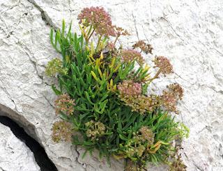 Hinojo marino, perejil de mar (Crithmum maritimum)
