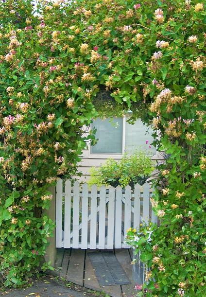 honeysuckle lonicera periclymenum a shakespeare garden