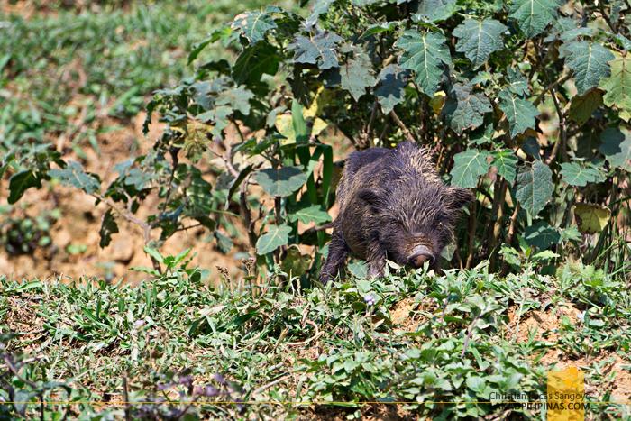 Black Piglet Sapa Vietnam