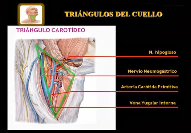 Triángulo carotideo del cuello vista lateral