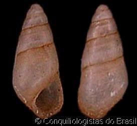 Heleobia australis