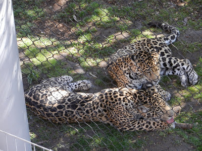 San Diego zoo jaguar cubs picture