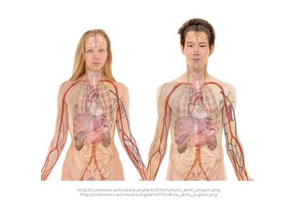 human-organs-اعضاء-جسم-الانسان