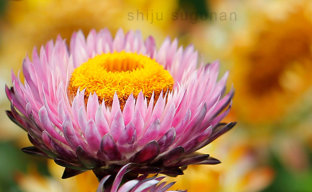 Bangalore Flower Show at Lalbagh Botanical Gardens by @shijuvenate