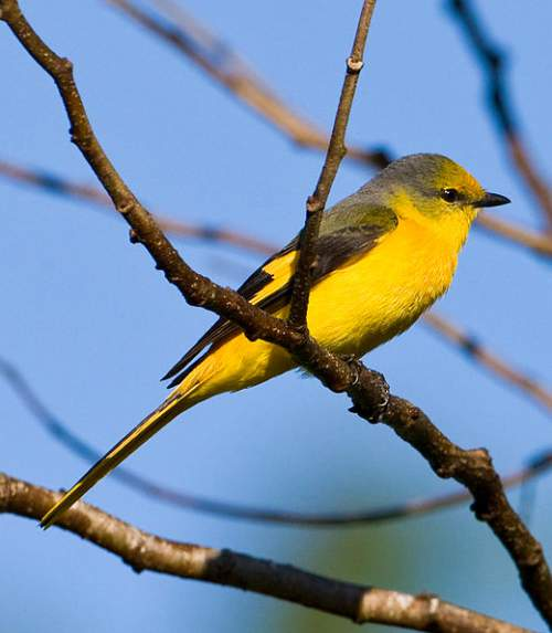 Birds of India - Photo of Short-billed minivet - Pericrocotus brevirostris
