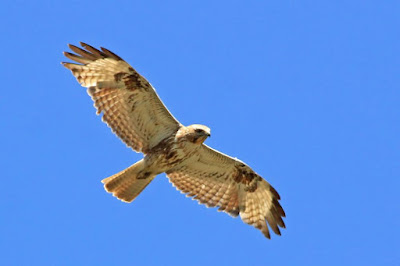 Japanese Buzzard