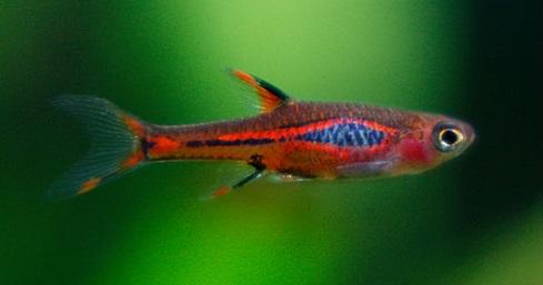 Mosquito Rasbora - Cara Budidaya Ikan