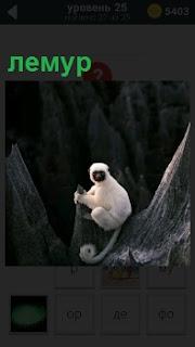 Между двух деревьев за ветку на большой высоте держится белый зверек лемур и смотрит прямо на нас