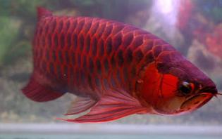 Penggunaan Daun Ketapang Sudah banyak di gunakan oleh para pebudidaya ikan khusnya untuk  Kabar Terbaru- MANFAAT DAUN KETAPANG UNTUK IKAN