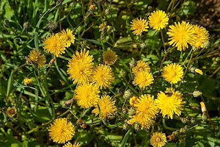 Dandelion-Natural Treatments