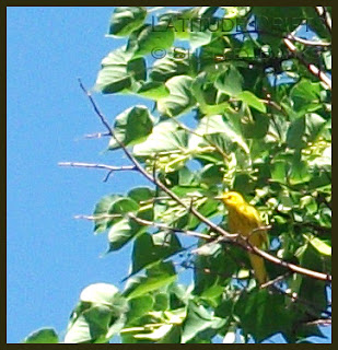 Yellow warbler in tree - photo by Shelley Banks