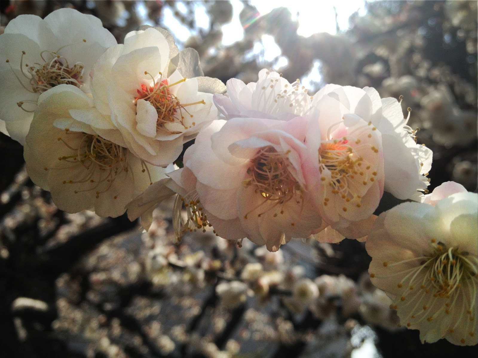 Marketing Japan Springtime Plums And Other Japanese Flowers At
