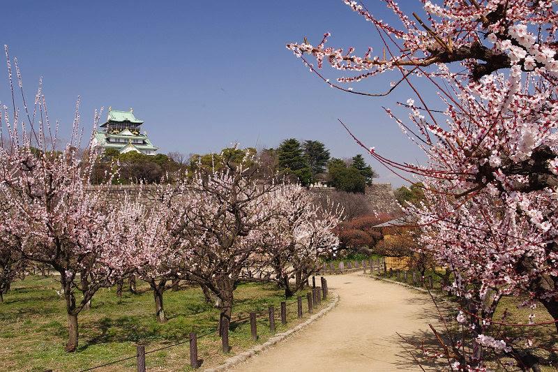 Pohon Sakura berlatar Osaka Castle