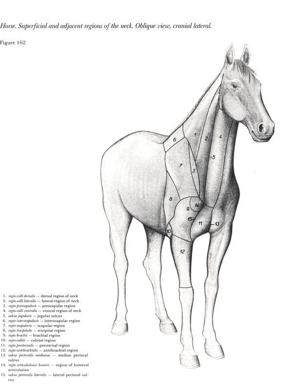 anatomia-cabeca-pescoco-neck-head-horse-cavalo-equino-plano