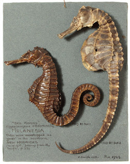 Two dried sea horses