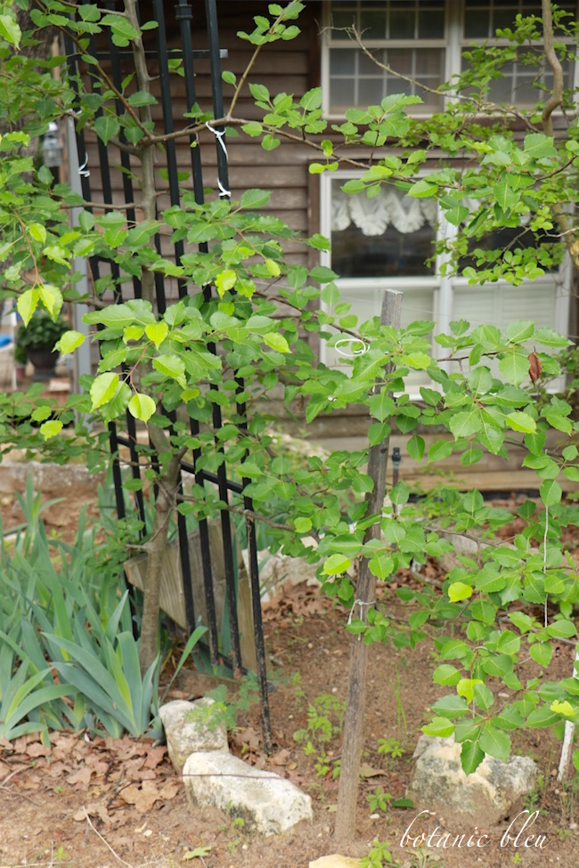 espalier-pear-tree