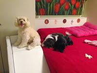 cães com deficiência visual