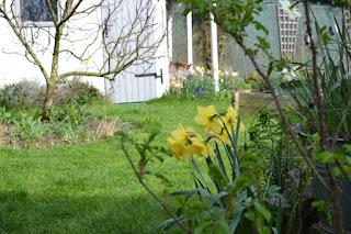 Narcisses au jardin