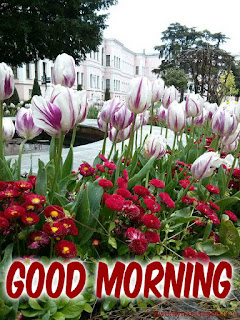 good morning images tulip