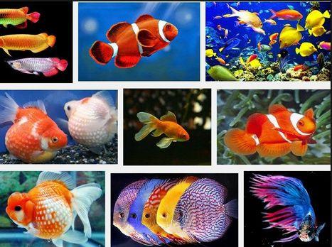 Jenis Ikan Hias yang Tidak Boleh Dicampur