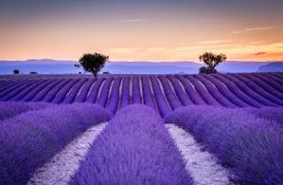Foto Bunga Lavender Ungu yang Indah 21