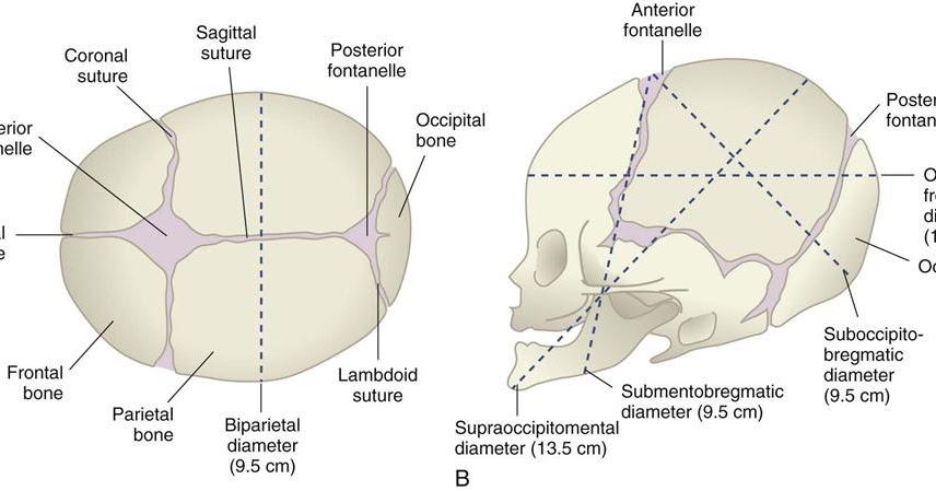 Fetal Skull   notes.nursium.com