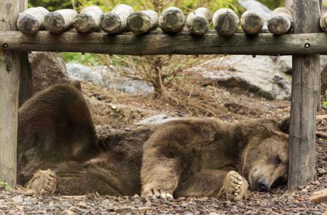 'Hungry bear' crisis grips far east Russian region