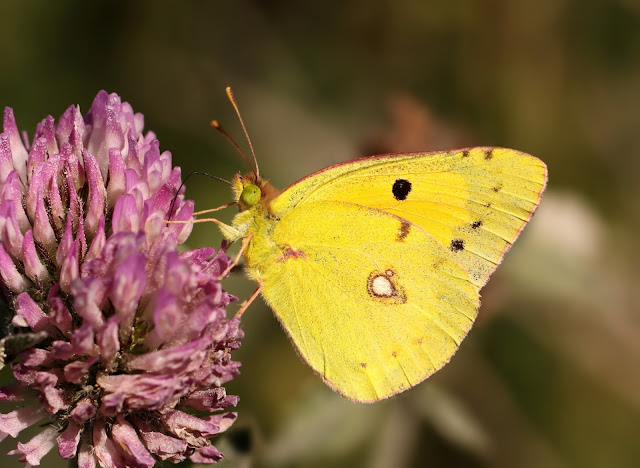 Clouded Yellow - Wiltshire