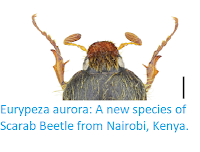 http://sciencythoughts.blogspot.co.uk/2017/10/eurypeza-aurora-new-species-of-scarab.html