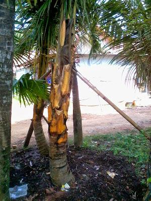 kelapa-kuning