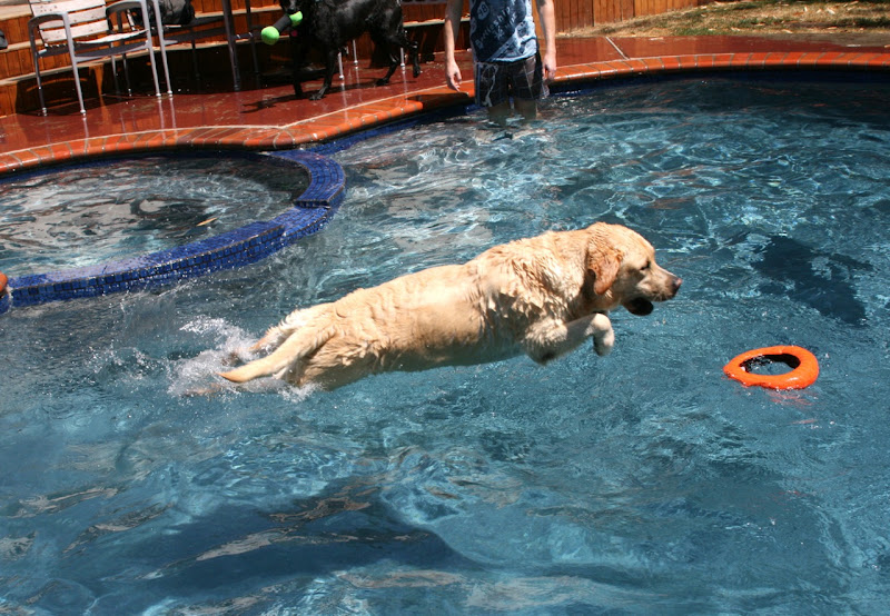 Yellow Labrador pool diving