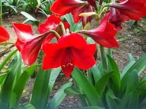 Jual Bakung Lele (lili) | Tanaman Amaryllis | Jual Tanaman Online