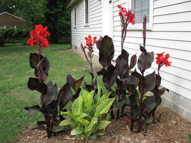 unconventional gardener canna