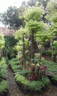tukang pohon bonsai murah