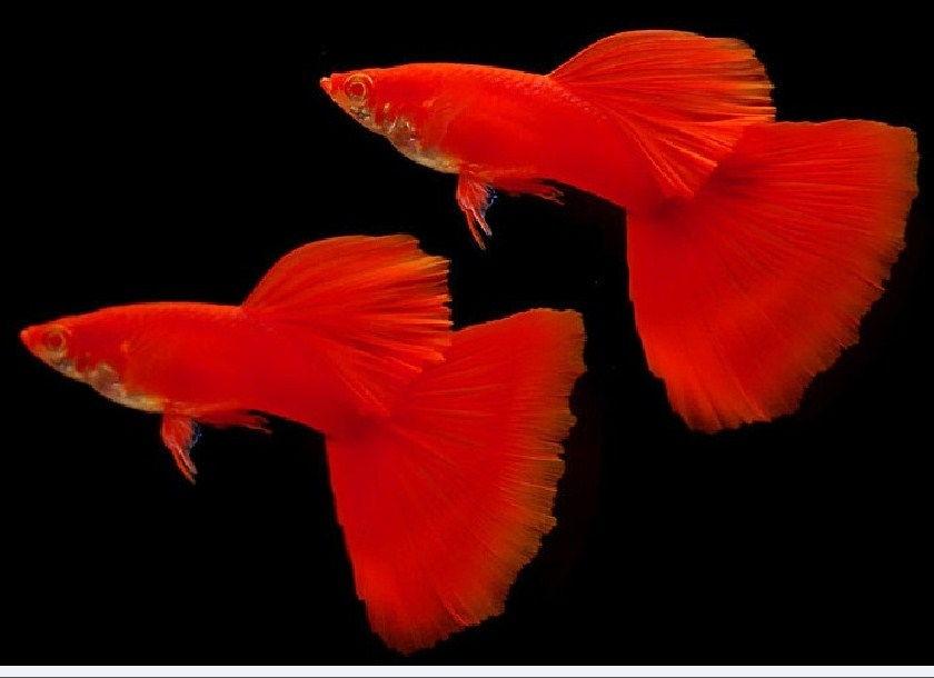 Harga Ikan Guppy 2016