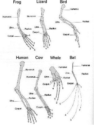 Notion of Evolution: Evolution of the Pentadactyl Limb