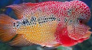 cara membedakan ikan louhan jantan dan betina Kabar Terbaru- CARA MEMBEDAKAN IKAN LOUHAN JANTAN DAN BETINA