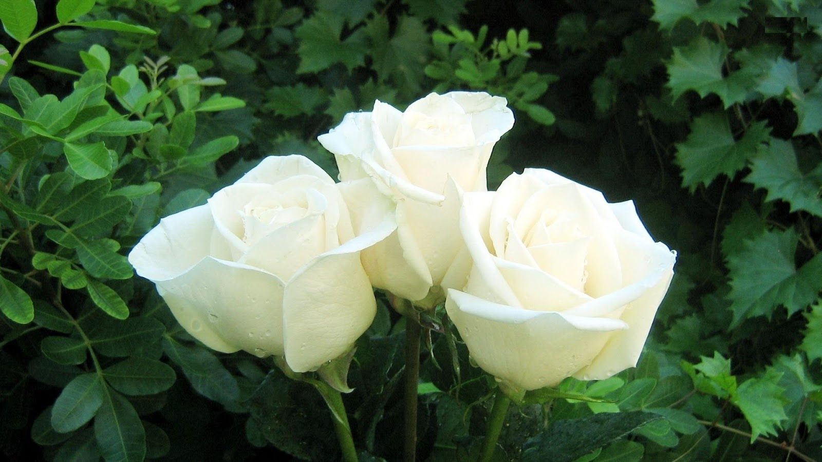 Pure Black Wallpaper White Rose Flowers Wallpapers Entertainment Only