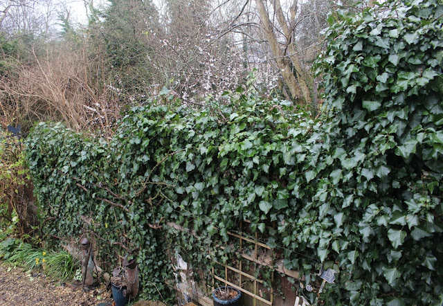 My ivy cloaked fence bordering the public land next door