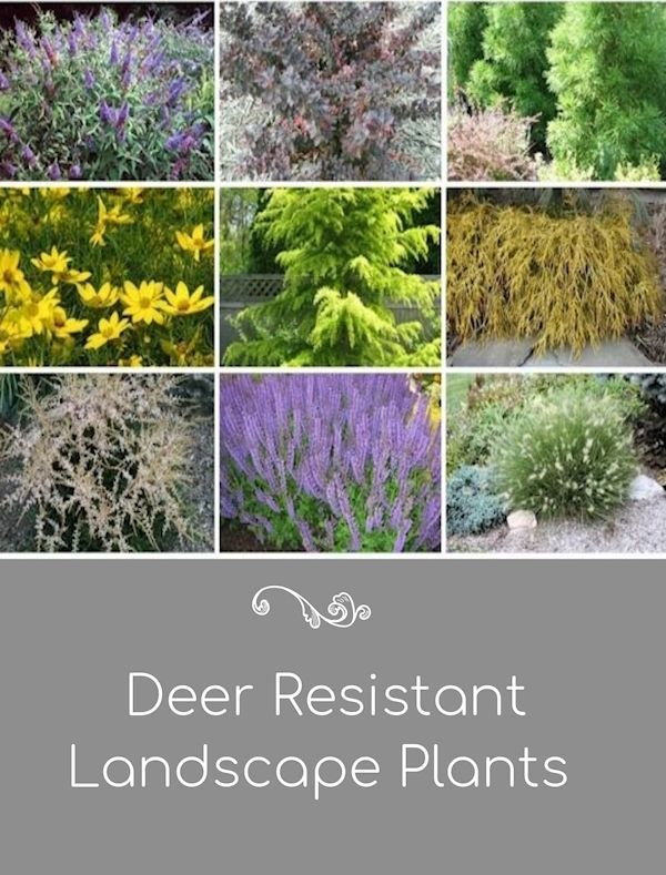 A Guide To Northeastern Gardening Deer Resistant Plants In The