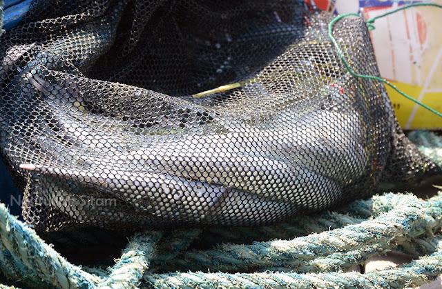 Para penghobi mancing di pulau panjang dan hasil tangkapannya