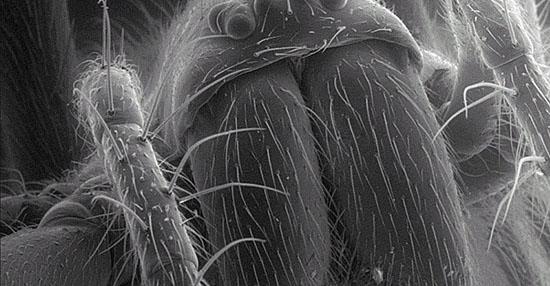 As coisas mais bizarras que você sempre quis ver no microscópio - Cabeça de aranha