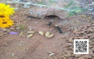 لماذا لا ينبت القمح الذى يخزنه النمل ولماذا النمل يجيد التخزين ؟