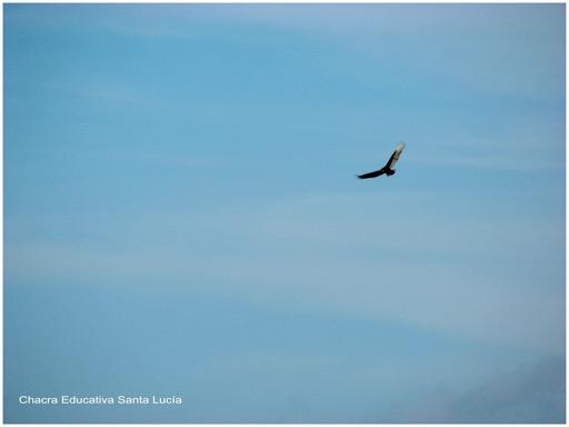 Ave rapaz planeando en el aire en busca de una presa - Chacra Educativa Santa Lucía