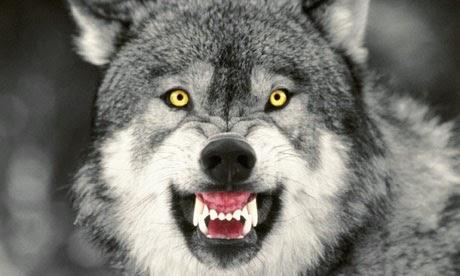 angry grey wolf - photo #13