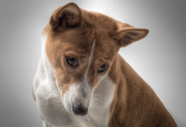 It is said that the Basenji dog looks like a cat, because of its independent behavior and because it licks and grooms like cats to keep their fur clean.