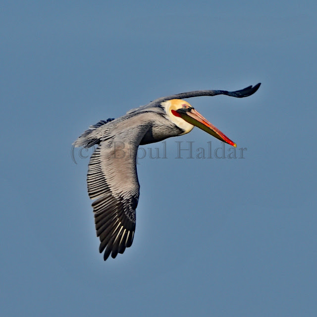 Brown Pelican - Breeding Adult